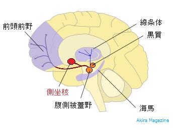 側坐核の位置図
