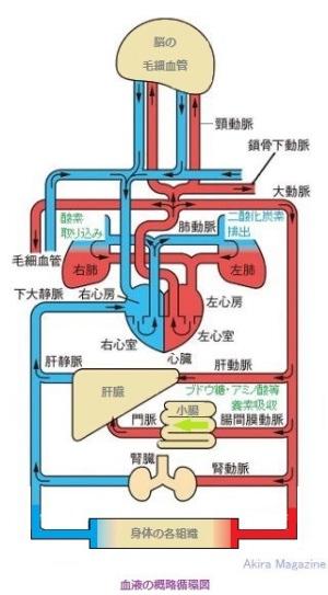 の 循環 経路 血液